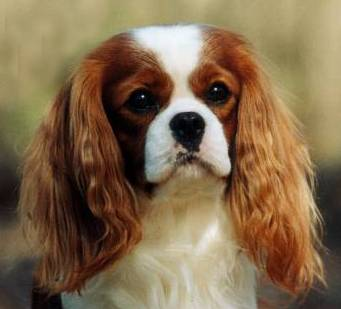 king charles cavalier ruby colour